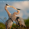 The Great Blue Herons of Wakodahatchee Wetlands :
